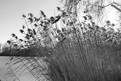 reeds2 (dick_pountain) Tags: blackandwhite london reeds blackwhite pond parliamenthill
