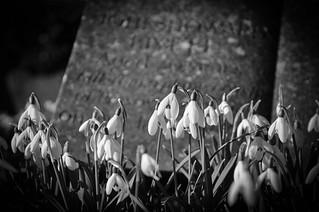 Graveyard Snowdrops