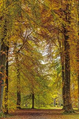 Cathedral of trees (pauldunn52) Tags: autumn england leaves gold westonbirt column