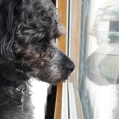 I miss you already (Abigail Harenberg) Tags: dog pet reflection love window puppy eyes sad crying tear emotions yorkiepoo