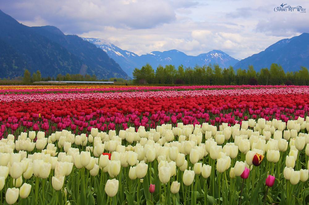 hakuun Tulips Valley Festival Agassiz BC