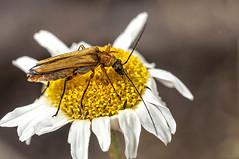 Oedemera podagrariae (Jaume Bobet) Tags: macro canon sigma escarabajo bobet insecto coleoptera oedemera oedemeridae podagrariae
