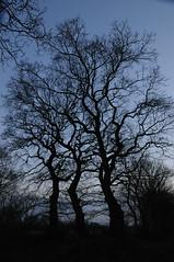 Baum-Silhouetten im Lehmsieker Wald; Schwabstedt, Nordfriesland (128) (Chironius) Tags: schwabstedt nordfriesland schleswigholstein deutschland germany allemagne alemania germania    ogie pomie szlezwigholsztyn niemcy pomienie gegenlicht abend abends abenddmmerung rosids fabids buchenartige fagales buchengewchse fagaceae eiche quercus stieleiche baum bume tree trees arbre  rbol arbres  rboles albero oak chne  roble quercia rovere ek carvalho mee eik   rvore aa boom trd quercusrobur deutscheeiche blau silhouette