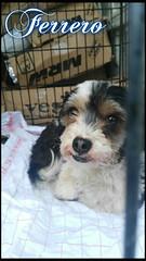 Ferrero 3 (santuariolacandela) Tags: españa dog spain puppies perro cachorro animalsanctuary femaledog adoption perra cachorra fosterhome acogida adopción cabezalavaca santuariolacandela
