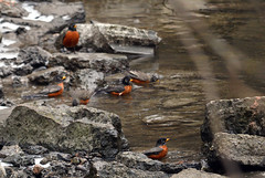 robins_cleaning_their_feathers_in_the_East_Don_River_27_2_2016_Noah_Cole_2_9537 (GreenRavenPhotography.com) Tags: toronto ontario canada river melting warm flock feathers robins don february bathing northyork elnino turdusmigratorius wahing eastdon americanrobins