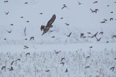 Circus cyaneus (kenta_sawada6469) Tags: winter white snow bird nature birds japan wildlife aves juvenile hunt harrier accipitridae wildbird henharrier