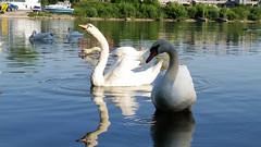 Sipping Some Water (grinnin1110) Tags: swimming river germany de deutschland europe wiesbaden hessen schwimmen main schwan vogel hesse cygnusolor whiteswan mainufer höckerschwan maaraue