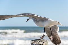IMGP8136.jpg (PenTex) Tags: ocean blue sea galveston bird beach nature outdoors flying wildlife seagull gull flight wing beak feather houston waterbird fowl clearsky seabird