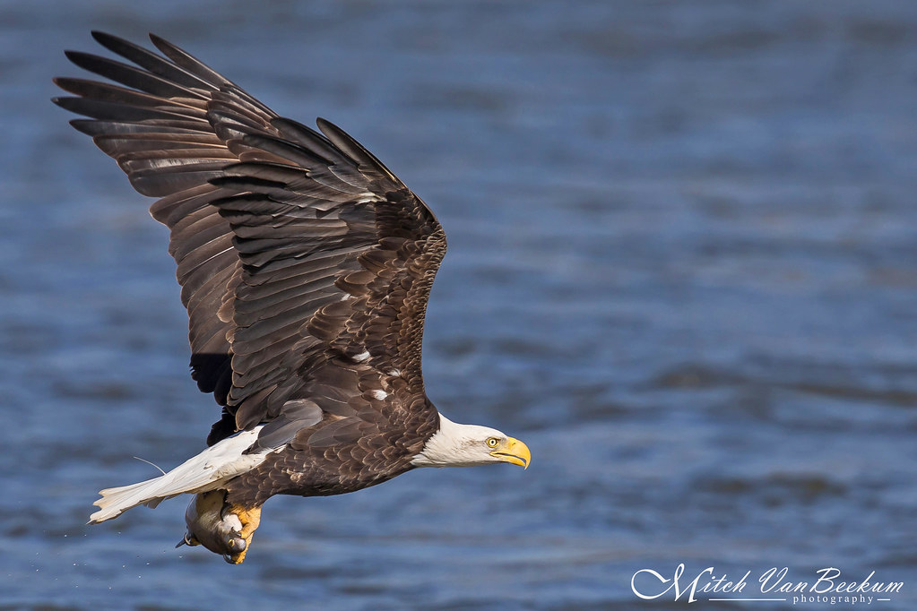 Fresh Catch - American Bald Eagle