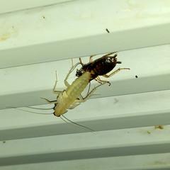 Blattella germanica - muta (Dwen 55) Tags: roach molt cockroach muta blatta scarafaggio esuvia