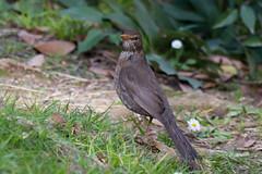 Merlo (Turdus merula) - Blackbird  (Carla@) Tags: nature birds canon europa italia wildlife liguria turdusmerula blackbird oiseaux merlo mfcc coth supershot avianexcellence coth5 sunrays5