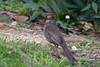 Merlo (Turdus merula) - Blackbird ♀ (Carla@) Tags: nature birds canon europa italia wildlife liguria turdusmerula blackbird oiseaux merlo mfcc coth supershot avianexcellence coth5 sunrays5