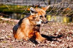 TiergartenNurnbergMrz11 058.jpg (jeolpe) Tags: tiere tiergarten raubtiere mhnenwolf nrnbergertiergarten landtiere 1homepage