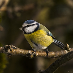 Blmeis - Cyanistes caeruleus - Blue Tit - D8D_8542 (Viggo Johansen) Tags: birds bluetit cyanistescaeruleus blmeis