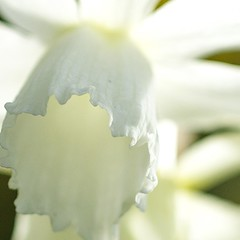 jonquil frill (Wendy:) Tags: white garden march 100mm jonquil frill