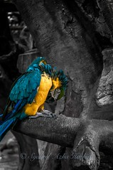 Macaw... (Syahrel Azha Hashim) Tags: travel light vacation holiday detail bird beautiful animal nikon colorful dof getaway details feathers feather naturallight 55mm malaysia handheld shallow moment macau simple perak tambun 55200mm selectivecoloring colorfulbird d300s syahrel