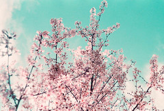 Symphony of Life (thomas_anthony__) Tags: life pink flowers blue trees light sky cloud flower color tree film nature analog 35mm canon vintage spring soft day branch purple bokeh outdoor pastel branches blossoms dream dreams twig cherryblossom cherryblossoms a1 analogue dogwood canona1 daydream symphony cloudporn dogwoods daydreams offcolor skyporn lomochrome lomochromepurple