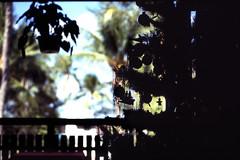 Bahamas 1988 (629) New Providence: Love Beach (Rüdiger Stehn) Tags: weihnachten weihnachtsbaum dia analogfilm scan 1980s slide 1980er diapositivfilm kleinbild kbfilm analog 35mm canoscan8800f 1988 contax137md bahamas nassau lovebeach insel palmen bauwerk profanbau haus garten newprovidence amerika westindischeinseln karibik mittelamerika gambier gambiervillage thebahamas nordamerika gegenlicht gebäude