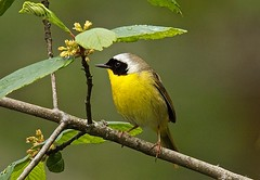 Common Yellow-Throat Warbler (jerrygabby1) Tags:
