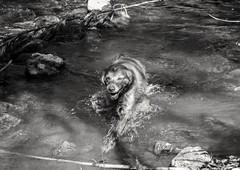 100% Cara de placer (ovejerillo) Tags: bw dog rio canon river funny perro placer dik breton segorbe 600d