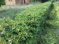 Hedge (RobW_) Tags: march farm saturday hedge western cape paarl 2016 simondium babylonstoren 05mar2016