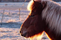 Frosty morning (evisdotter) Tags: morning light portrait horse frost frosty hst sooc