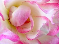 Sensuous, Blushing, and Shy (chicbee04) Tags: pink roses arizona white macro canon erotic tucson pov side perspective shy front sensual alhambra rosegarden blushing sensuous georgiaokeeffe southwesternusa pinkandwhiteroses petallips powershotsx60hs verticallystackedroses sensuousblushingshy