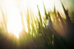 El Caracol / The snail (PetterZenrod) Tags: light sun macro verde green luz sol grass atardecer hierba césped