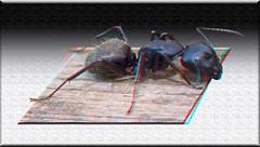 Camponotus pennsylvanicus - (Eastern) Black Carpenter Ant 1 - Anaglyph 3D (DarkOnus) Tags: black macro closeup insect lumix stereogram 3d pennsylvania ant anaglyph panasonic stereo eastern stereography buckscounty carpenter oof oob camponotus ttw pennsylvanicus dmcfz35 darkonus