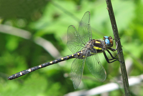 Twin-spotted spiketail - last April