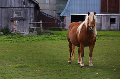Chestnut Draft Horse (ashockenberry) Tags: