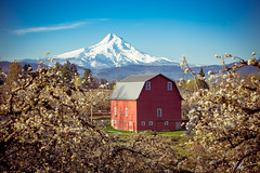 Rood River Barn (tenmenkilled) Tags: red barn canon spring blossoms bluesky orchard mthood pear hoodriver columbiarivergorge 6d 2470mm