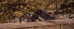 Birds in Love (Fabrice T.) Tags: city paris france bird love animal animals kiss pigeon amour animaux oiseau oiseaux