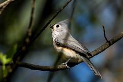 in the spotlight (Rebecca Wolff) Tags: nature virginia spring wildlife tuftedtitmouse northernvirginia 2016 nottowaypark