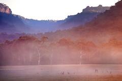 A Roo-d Awakening    HARTLEY    NSW (rhyspope) Tags: new blue mist mountain pope mountains field fog wales rural canon south meadow australia kangaroo valley nsw 5d aussie rhys roo hartley mkii rhyspope
