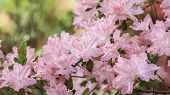 Pretty in Pink (Lawrence OP) Tags: pink washingtondc arboretum national azalea