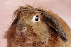 Dusty Trump... (Pog's pix) Tags: portrait pet brown cute rabbit bunny dusty face animal closeup hair easter nose scotland eyes funny longhair ears whiskers indoors donaldtrump easterbunny combover houserabbit ayrshire stewarton eastayrshire dustytrump
