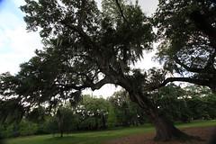 Canon206496 (godrudy6661) Tags: neworleans audubonpark treeoflife oaktrees