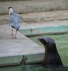 Spielverderber (dieunsoziale) Tags: zoo osnabrck robbe tier reiher seehund