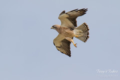 Swainson's Hawk takes a swipe at an owls nest - sequence - 2 of 5