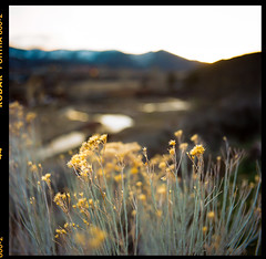 a river runs through it | portra 800 120 medium format film | bronica c 6x6 | nikon nikkor-h 50mm 3.5 wide-angle lens (*AndrewYoungPhoto* (writing_with_glass)) Tags: flowers sunset urban mountains nature yellow square landscape utah bokeh dusk vintagecamera wildflowers parkcityut shallowdof mediumformatfilm 6x6120film epsonperfection3200scanner streamcreekriver bronicacs2s2ad c41negativecolorprintfilm nikonkogakunikkorh50mm35lens portra800iso800 20160427explored