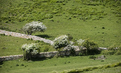 Spring greens and whites by the Sea (lunaryuna (off to Iceland for 2 weeks)) Tags: trees england panorama green grass season landscape spring hill blossoms dorset bloom pastures lunaryuna jurassiccoast stonedyke rurallandscapes gorgeousgreenthursday seasonalwonders