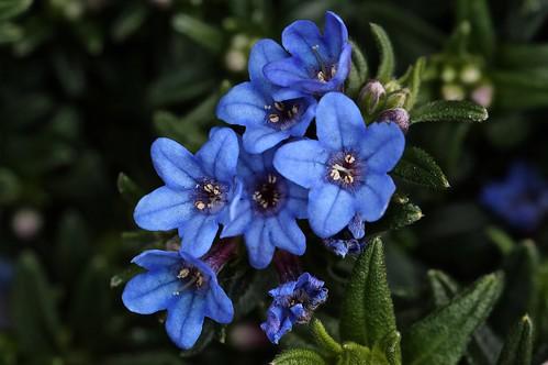 Blauwe lente met de Lithodora