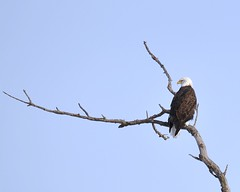 Eagle (James_Dannelly) Tags: usa bird nature america nikon nebraska eagle baldeagle d600