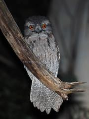 Tawny Frogmouth (Vas Smilevski) Tags: bird birds night nocturnal ngc birding feathers australia olympus nsw omd australianbirds tawnyfrogmouth em1 podargusstrigoides wollemi podargidae nocturnalbirds getolympus olympusau fl600r olympusomdem1 mzuiko300mmf4pro