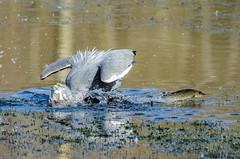 Grey Heron & Escaping Pike (phat5toe) Tags: fish nature birds nikon wildlife hunting feathers pike penningtonflash avian wigan flashes greyheron wader greenheart d7000 sigma150500