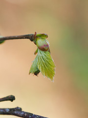 new beech (mark.griffin52) Tags: england leaf spring buckinghamshire bud beech coombehill olympusem5