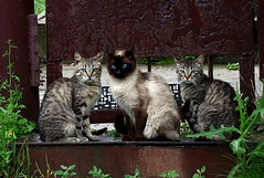 Sweet trio! :) (halina.reshetova) Tags: blue summer plants pet cats brown white black green wool grass animals june cat canon nose three eyes rust kitten siamesecat blueeyes tail gray ears greeneyes porch whisker summertime trio paws belarus glance pussycat striped metalgate threekittens concordians mozyr metalarmature canoneos1000d sweettrio virgiliocompany 01062014 05042016