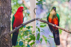 Australian King Parrots (Male and Female) (satochappy) Tags: park tree beautiful couple king pair sydney australian parrot australia parrots kingparrot  australiankingparrot