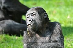 Chimpanzee at Burgers Zoo, Arnhem, 10th April 2016 (74009) Tags: arnhem chimpanzee burgerszoo